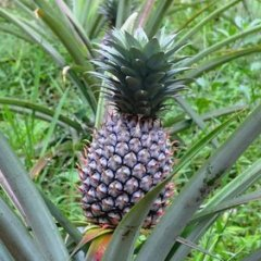 How to Grow Pineapple Plants From Pineapple Tops