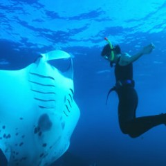 Giant Manta Ray Approaches Divers For Help